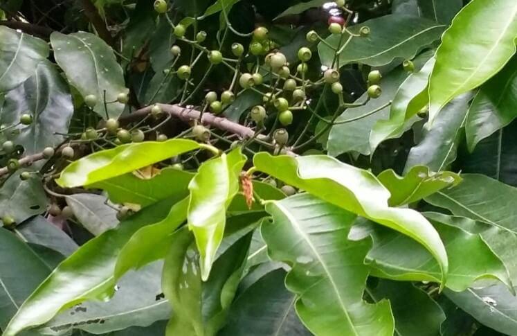 Thông tin về cây lá vối